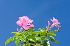 Ciel rose et bleu de désert Image stock