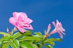 Ciel rose et bleu de désert Images stock