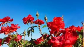 Ciel rouge de roses d'isolement pour le fond Photos stock