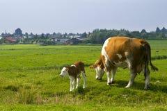 cielęta krowy Fotografia Royalty Free