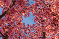 Cieli blu e Cherry Blossoms Immagine Stock