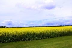 Cieli blu nuvolosi sopra il campo del Canola di Manitoba Fotografie Stock