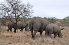 cieli się żeńską kruger np nosorożec Zdjęcie Royalty Free