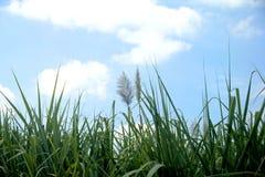 Cielo alto dell'erba online Immagine Stock Libera da Diritti