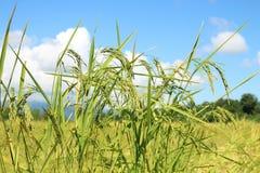 Cielo archivado y azul del arroz verde hermoso imagen de archivo libre de regalías