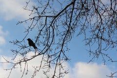 Cielo azul Árboles de la primavera sin follaje contra el cielo azul El grajo se sienta en un árbol fotos de archivo