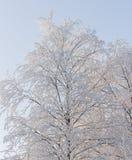 Cielo azul claro del árbol de abedul Nevado Fotos de archivo