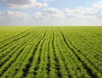 Cielo azul claro sobre un field_8 verde Fotografía de archivo