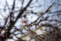 Cielo azul Daylig brillante de la estación de Cherry Blossom Tree Blooming Early Imagenes de archivo