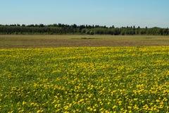 Cielo azul de flores de los dientes de león del verano amarillo del campo Imagen de archivo libre de regalías