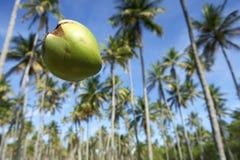 Cielo azul de la arboleda de las palmeras del coco que cae Imagenes de archivo