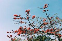 Cielo azul de la flor de Kapok Fotos de archivo