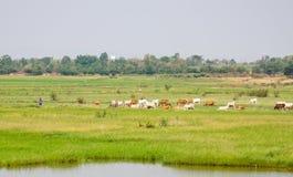 Cielo azul de la granja de la vaca Fotos de archivo