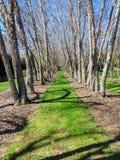 Cielo azul de la hierba verde de los árboles de abedul Fotografía de archivo