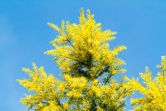 Cielo azul de la hoja del pino Imágenes de archivo libres de regalías