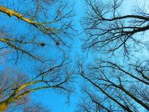 Cielo azul de la primavera entre las ramas desnudas de los árboles Foto de archivo libre de regalías