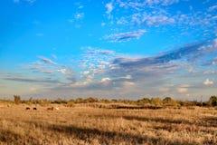 Cielo azul de la puesta del sol con nubes delicadas y mullidas y un campo de oro imagen de archivo libre de regalías