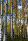 Cielo azul de los álamos tembloses del otoño Foto de archivo libre de regalías