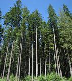 Cielo azul de los árboles altos Imagen de archivo libre de regalías