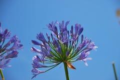 Cielo azul de los agains del Agapanthus Fotos de archivo libres de regalías