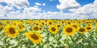 Cielo azul de los girasoles y naturaleza Sommer Season de las nubes del blanco Fotos de archivo libres de regalías
