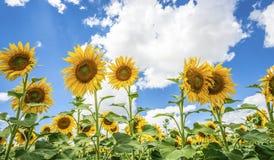 Cielo azul de los girasoles y naturaleza Sommer Season de las nubes del blanco Foto de archivo libre de regalías