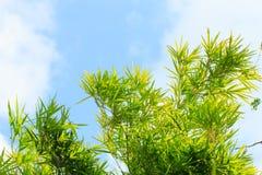 Cielo azul del árbol de la hoja de la nube de bambú de la rama Fotografía de archivo