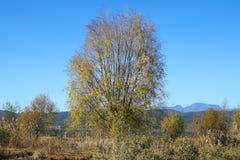 Cielo azul del árbol de oro en invierno foto de archivo libre de regalías