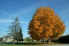 Cielo azul del árbol de pino del árbol de arce fotografía de archivo libre de regalías