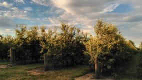 Cielo azul del árbol y pequeñas manzanas en la huerta orgánica Imagen de archivo