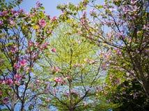 Cielo azul del bauhinia verde de los árboles imagen de archivo libre de regalías