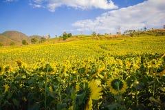 Cielo azul del campo de flores de Sun y y luces brillantes del sol Foto de archivo