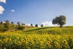 Cielo azul del campo de flores de Sun y y luces brillantes del sol Fotografía de archivo