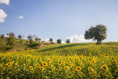 Cielo azul del campo de flores de Sun y y luces brillantes del sol Imágenes de archivo libres de regalías
