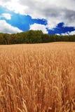 Cielo azul del campo de trigo Imagen de archivo libre de regalías
