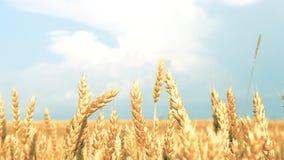 Cielo azul del paisaje del campo del trigo amarillo rural del centeno metrajes