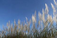 Cielo azul e hierba alta blanca Foto de archivo