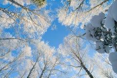 Cielo azul en bosque hermoso del invierno Foto de archivo libre de regalías