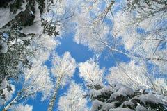 Cielo azul en bosque hermoso del invierno Imagen de archivo libre de regalías