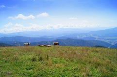 Cielo azul en las montañas con la vaca Imagen de archivo