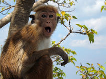 Cielo azul, follaje verde, pequeño mono con los ojos grandes, oídos y boca abiertos, primer Imagen de archivo