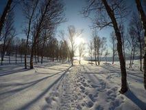 Cielo azul vibrante y bosque nevoso soleado del árbol de abedul del invierno Foto de archivo libre de regalías