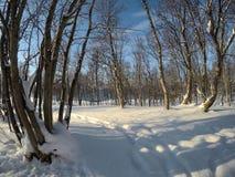 Cielo azul vibrante y bosque nevoso soleado del árbol de abedul del invierno Imagen de archivo