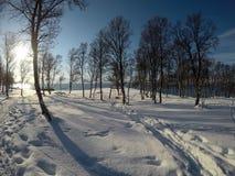 Cielo azul vibrante y bosque nevoso soleado del árbol de abedul del invierno Fotos de archivo libres de regalías