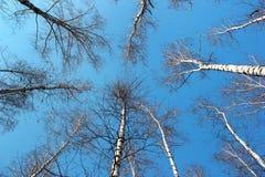 Cielo azul visto a través de los árboles de abedul en primavera Foto de archivo libre de regalías