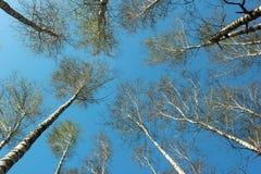 Cielo azul visto a través de los árboles de abedul en primavera Fotos de archivo libres de regalías
