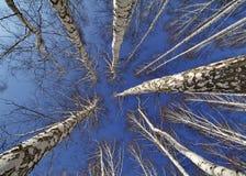 Cielo azul visto a través de los árboles de abedul en primavera Fotos de archivo