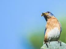 Cielo azul y abeja del pájaro azul Fotos de archivo libres de regalías