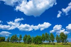 Cielo azul y arboleda joven del abedul fotografía de archivo