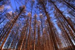Cielo azul y bosque Fotografía de archivo